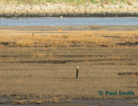 Peregrine on north mudflats