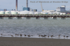 Whimbrel flock