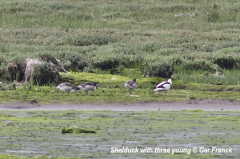 Shelduck with young