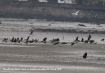 Dog chasing Brent Geese southern mudflats