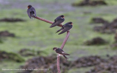 Swallows and House Martin