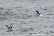 Little Gulls