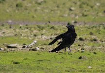 Carrion Crow Hybrid