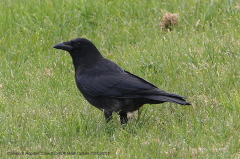 Carrion x Hooded Crow