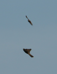 Peregrine and merlin