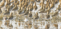 Golden Plovers