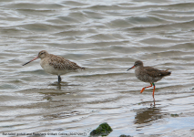 Bar-tailed Godwit and Redshank