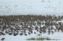 Waders at roost