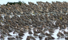 Redshanks and Black-tailed Godwits