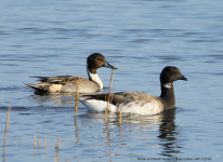 Brent Goose and Pintail
