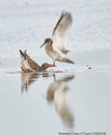 Redshanks