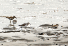 Dunlins and Sanderlings