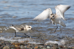 Sanderlings (juveniles)