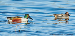 Shoveler and Teal